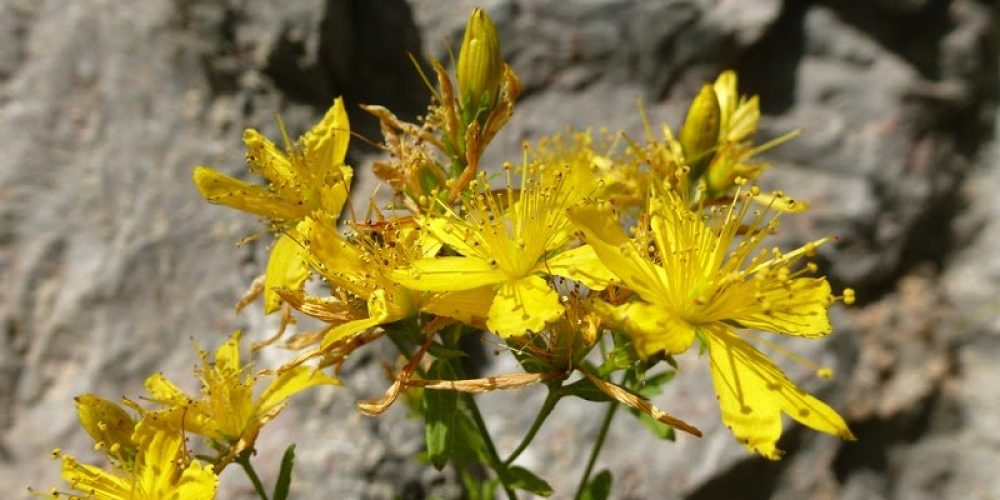 St John's Wort Benefits And How To Use